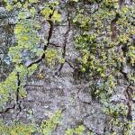 Photo de détail de lychens verts sur un tronc
