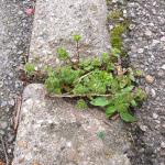 Photo de détail d'une plante poussant au travers de l'asphalte